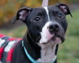 Adoptable black and white pit bull mix