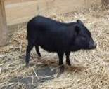 Adoptable black pot bellied pig