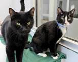 Two adoptable black and white cats at shelter window